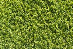 Superficie verde della barriera del giardino Immagini Stock