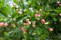 Superfrucht (Carissa carandas Linn etwas körniges) Stockfotografie