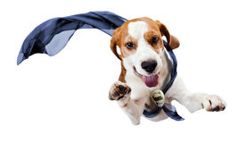 Superhero. Dog - superhero , isolated on a white background Stock Photos