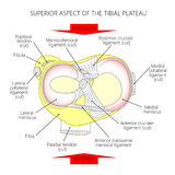 Superior aspect of the tibial plateau. Vector illustration. Anatomy of a proximal surface of the tibia with soft tissues in the  healthy human knee joint. For Royalty Free Stock Photo