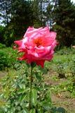 Superior Rosa de Kordes Perfecta Fotografia de Stock