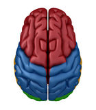 Superior view of the Brain Stock Photo