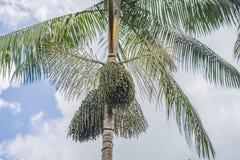 Superlebensmittel Amazonas, acai Beere, die auf einem Baum wächst Lizenzfreies Stockbild