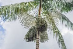 Superlebensmittel Amazonas, acai Beere, die auf einem Baum wächst Stockfotografie