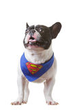 Superman del bulldog francese Fotografia Stock