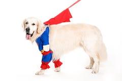 Superman dorato del retiever vestito Immagini Stock Libere da Diritti