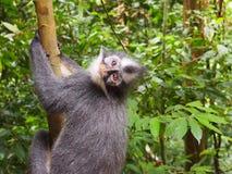 Supermodel Thomas Leaf Eater Monkey Royalty Free Stock Images
