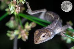 Supermoon. A close up of lizard at night Stock Images