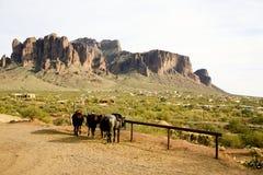 Superstition Montain med hästar i förgrunden Fotografering för Bildbyråer