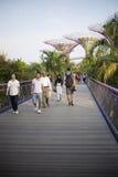 Supertrees在海湾的庭院里在南新加坡 图库摄影