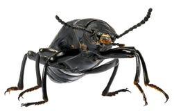 Superworm甲虫 免版税图库摄影