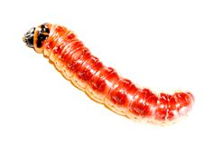 superworm Стоковые Фотографии RF