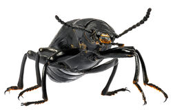 Superworm beetle. Royalty Free Stock Photography
