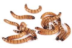 Superworm, morio Zophobas zofobas, личинки на белой предпосылке Стоковая Фотография