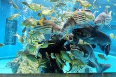Suphanburi, ТАИЛАНД - 11-ое декабря 2015: Водолазы аквариума в пробке Chawak Стоковая Фотография RF