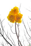 Suphannika isolates. Isolates of Suphannika beautiful yellow blossom on top of it, which leaves no branches stock photography