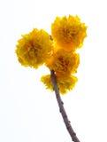 Suphannika isolates. Stock Images