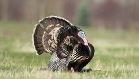 Suportando Turquia selvagem Foto de Stock Royalty Free