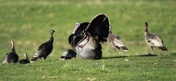 Suportando Turquia selvagem Imagem de Stock