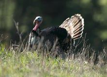 Suportando Turquia selvagem Imagens de Stock Royalty Free