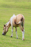 Suporte branco e marrom do cavalo no pasto no campo Imagem de Stock Royalty Free