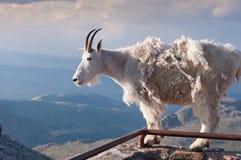 Suporte da cabra de montanha orgulhosamente, altamente nas montanhas rochosas fotos de stock royalty free
