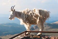 Suporte da cabra de montanha orgulhosamente, altamente nas montanhas rochosas fotografia de stock royalty free