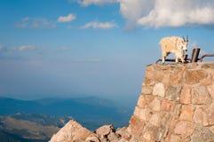 Suporte da cabra de montanha orgulhosamente, altamente nas montanhas rochosas imagem de stock