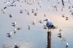 Suporte da gaivota no polo de madeira Fotografia de Stock Royalty Free