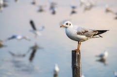 Suporte da gaivota no polo de madeira Foto de Stock