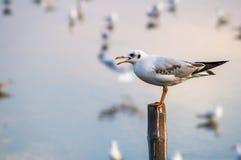 Suporte da gaivota no polo de madeira Foto de Stock Royalty Free