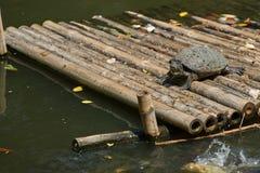 Suporte da tartaruga na jangada de bambu na lagoa com o dia ensolarado, natural Fotos de Stock