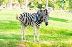 Suporte da zebra Fotos de Stock