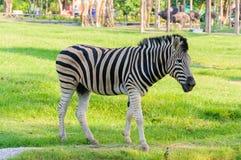 Suporte da zebra Fotografia de Stock Royalty Free