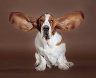 Suporte das orelhas do cão de Basset Fotos de Stock Royalty Free