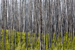 Suporte de árvores queimadas Foto de Stock Royalty Free