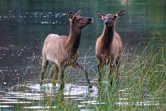 Suporte de duas vitelas dos alces na água pouco profunda foto de stock royalty free