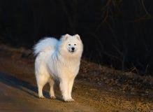 Suporte do cachorrinho do cão do Samoyed na estrada arenosa no por do sol Imagens de Stock