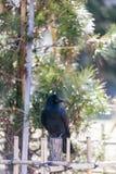Suporte do corvo na cerca de bambu com as árvores verdes no fundo em Sapporo no Hokkaido, Japão Fotos de Stock Royalty Free