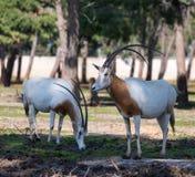 Suporte do gazella do Oryx de dois gemsboks no parque Ramat Gan do safari, Israel imagens de stock royalty free