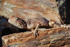 Lagarto Mimetic em floresta Petrified, Khorixas, Namíbia Imagem de Stock