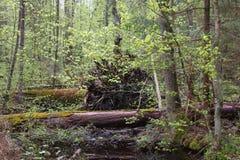 Suporte do pantanal da primavera Imagens de Stock Royalty Free