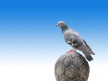 Suporte do pombo na pedra implorada no fundo azul do inclinação Foto de Stock Royalty Free