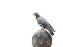 Suporte do pombo no isolamento de pedra implorado Foto de Stock