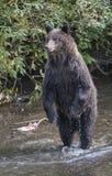 Suporte do urso Fotografia de Stock Royalty Free