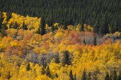 Suporte dos álamos tremedores de Colorado Foto de Stock