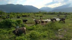 Suporte dos búfalos no olhar da grama na opinião do fim do zangão vídeos de arquivo