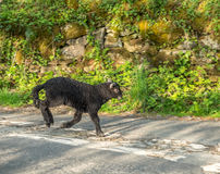 Suporte dos carneiros na estrada Foto de Stock Royalty Free