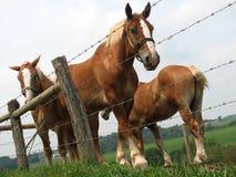 Suporte dos cavalos de Amish atrás de uma cerca em Ohio imagem de stock