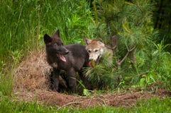 Suporte dos filhotes de cachorro do lúpus de Grey Wolf Canis no pinho Fotografia de Stock Royalty Free
